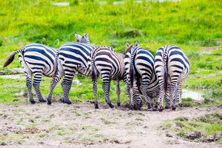 Zebras graze in Amboseli park
