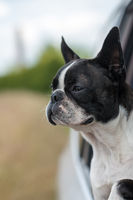 Dog - Boston Terrier - sticking his head out the car window