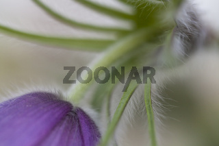 Gewöhnliche Kuhschelle (Pulsatilla vulgaris)