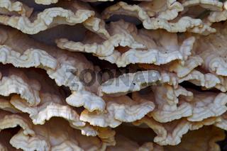 Der Gemeine Schwefelporling ist im Jugendstadium leuchtend gelb, orange oder gelborange gefaerbt