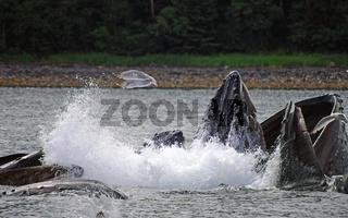 Buckelwale auf Heringsfang
