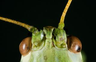 Green Cricket Head