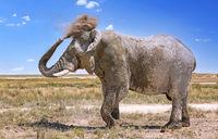 elephant with dust, Etosha National Park, Namibia, (Loxodonta africana)