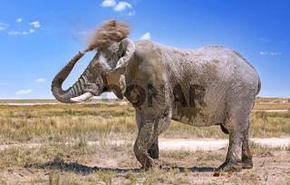 Elefant mit Staub, Etosha-Nationalpark, Namibia, (Loxodonta africana) | elephant with dust, Etosha National Park, Namibia, (Loxodonta africana)