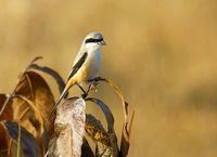 Long-tailed Shrike, Lanius schach, Bandhavgarh National Park, Madhya Pradesh, India