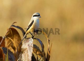 Long-tailed Shrike, Lanius schach, Bandhavgarh National Park, Madhya Pradesh, India