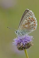 Himmelblauer Blaeuling (Polyommatus bellargus)
