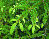 spruce, young shoots in spring,