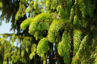 Picea abies, Rotfichte, Spruce