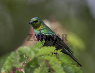 Sunbird, Kenya, Africa