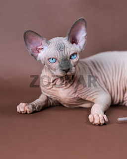 Portrait of blue mink and white color Sphinx Cat 4 months old with blue eyes. Studio shot