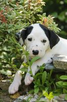 Dalmatian puppy, five weeks old in a garden
