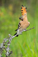 Eurasian hoopoe with bug in beak on twing in spring