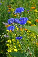 Kornblume, Centaurea cyanus, cornflower