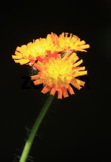Habichtkraut, Wildblume