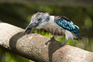 Blaufluegel-Kookaburra, Papua Neuguinea