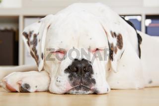 Junger Hund (Boxer) schläft mit geschlossenen Augen