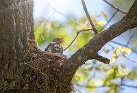 chick with open beak in nest