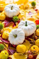 White pumpkins with autumn leaves and fruits for Thanksgiving