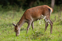 Red deer female grazing on meadow in autumn nature