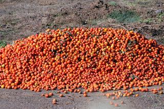 Tomaten-Überproduktion Punta de Teno