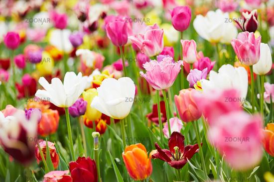 Hintergrund aus bunten Tulpen
