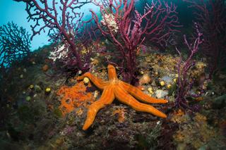 Purpur-Seestern in Korallenriff