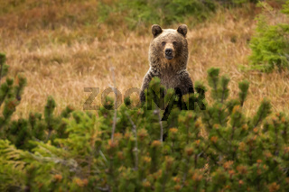 Brown bear standing behind the conifer in autumn nature