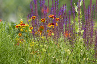 Flower meadow with yellow asters and blooming sage against a blurred green background