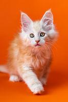 Portrait of playful purebred male kitten on orange background. Concept of emotional support animal