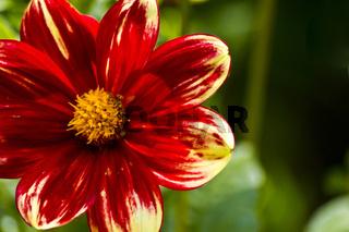 Rot-gelb blühende Dahlie