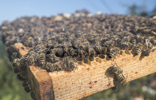 Honeycomb with western honey bees