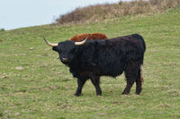 Highland cattle on the meadow