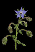 Starflower (Borago officinalis)