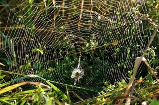 leuchtendes Spinnennetz mit Wespenspinne