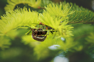 Breeding cockchafers or may bugs on a sunny evergreen tree, Austria, Europe