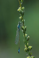 Grosse Pechlibelle (Ischnura elegans)
