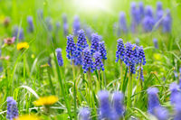 Blue Muscari flowering in early spring.
