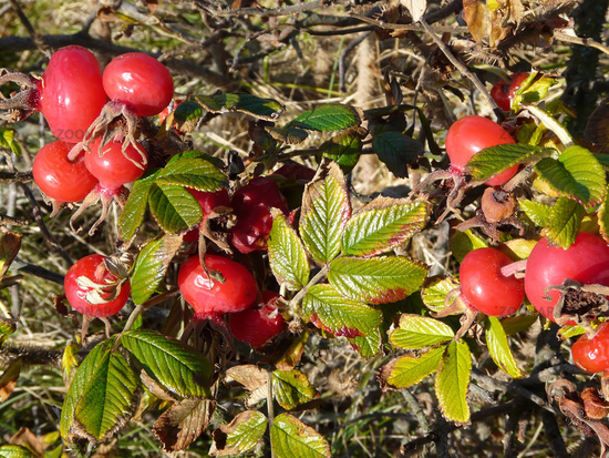 Ripe rosehips and wilting leaves of Rosa rugosa