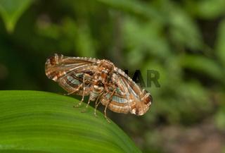 Picture-winged Leaf Moth,  Thyrididae, Thane, Maharashtra, India