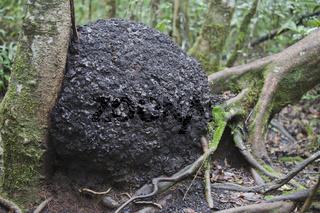 Termitenhügel zwischen zwei Bäumen, Madagaskar