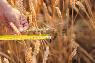 Farmer examine and measure with ruler wheat ears at agricultural field. Rich harvest concept