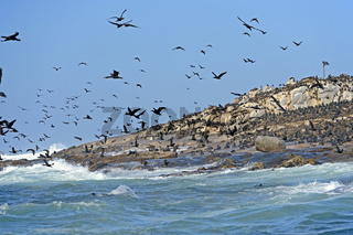 Kap Kormoran (Phalacrocorax capensis) Seal Island, False Bay, Si