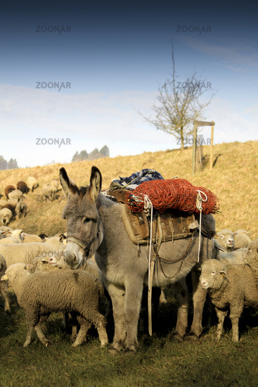 flock of sheep with a donkey