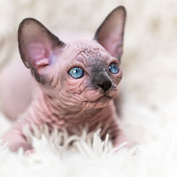 Close-up portrait of kitten Canadian Sphynx Cat with big blue eyes lying on white carpet