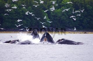 Eine Horde Buckelwale
