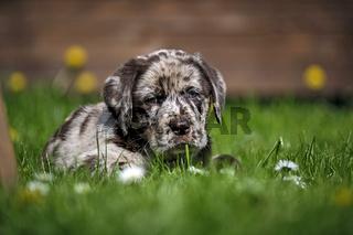 Gefleckter Labrador Retriever Welpe.