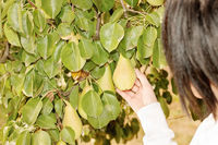 picking pears in orchard