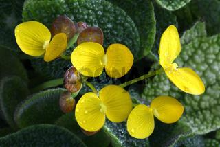 Blueten der feigenbewohnende Begonie ( Begonia ficicola ),  Nige