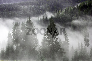 spruces in the mist